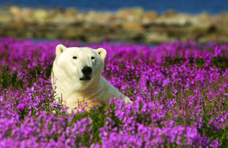 Eisbaer in Blumen Churchill
