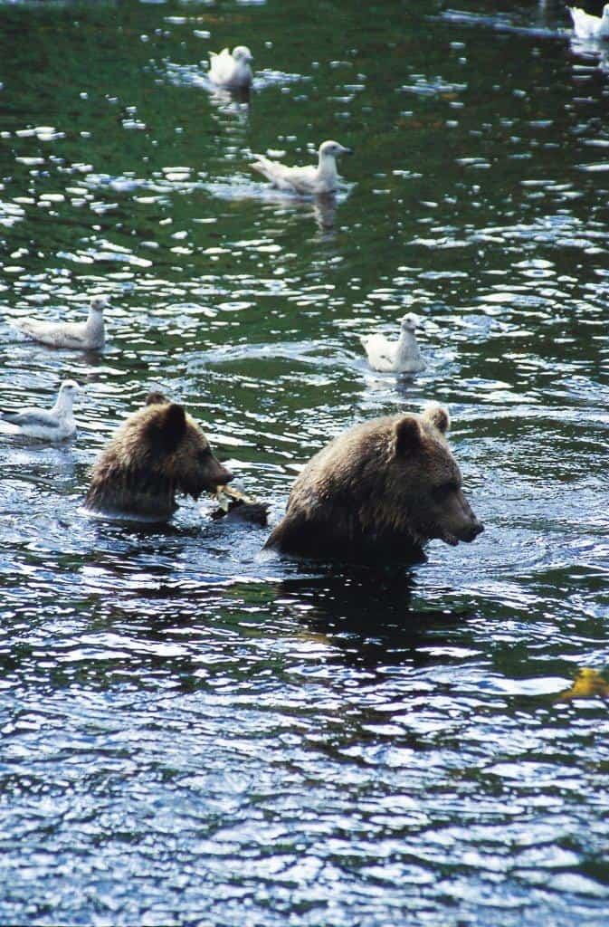 Schwimmende Grizzlys im Knight Inlet (c) Tourism BC