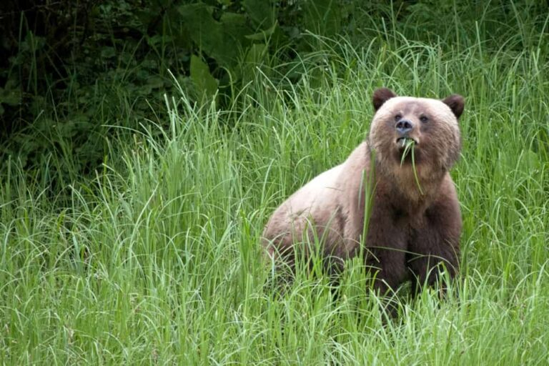 Grizzly, Great Bear Lodge, Great Bear Rainforest - Foto Lucy Dodsworth