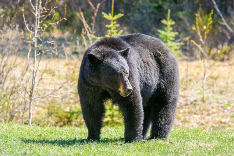 Schwarzbär am Icefields Parkway. Foto Tobias Barth