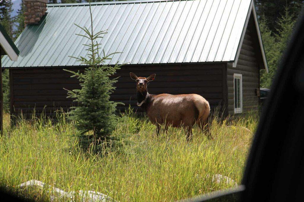 Elk / Rothirsch, Pine Bungalows, Jasper, Miriam Hülser