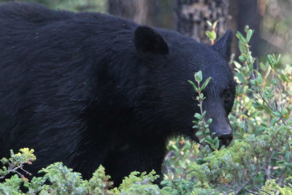 Schwarzbär, Jasper National Park, Fotograf: Miriam Hülser