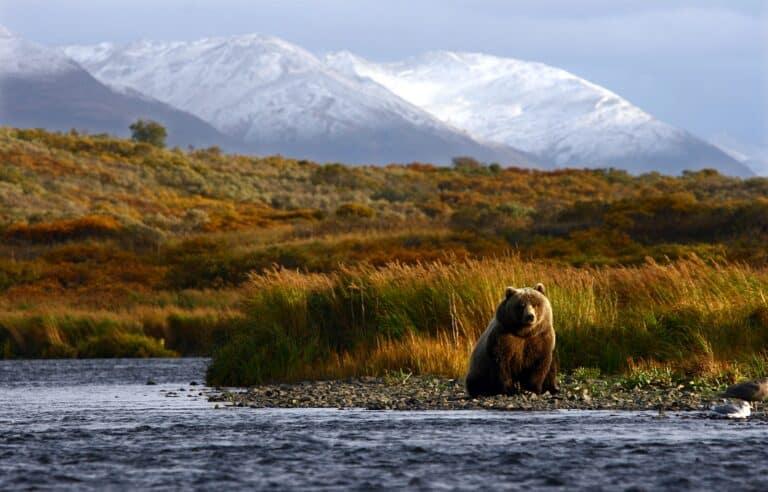 Das mächtigste und größte Landraubtier der Erde, der Kodiakbär. Foto bobby22 / Deposit