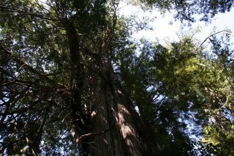 Mammut Bäume auf Vancouver Island - teilweise über 1000 Jahre alt sind diese Bäume im Regenwald - Foto Tobias Barth