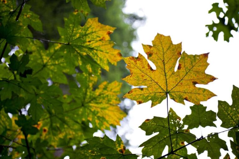 Maple Tree, Grouse Mountain - Foto Canadian Tourism Commission