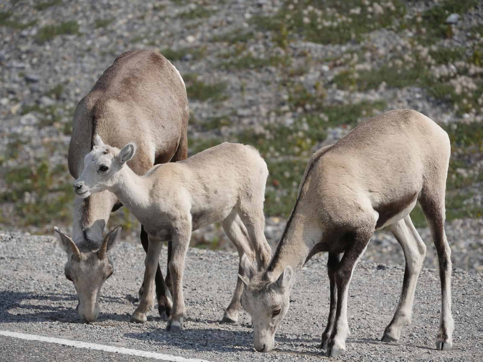 In British Columbia trifft man überall eine reiche Tierwelt an, wie hier am Alaska Highway in den Northern Rockies. Foto Alfred Pradel