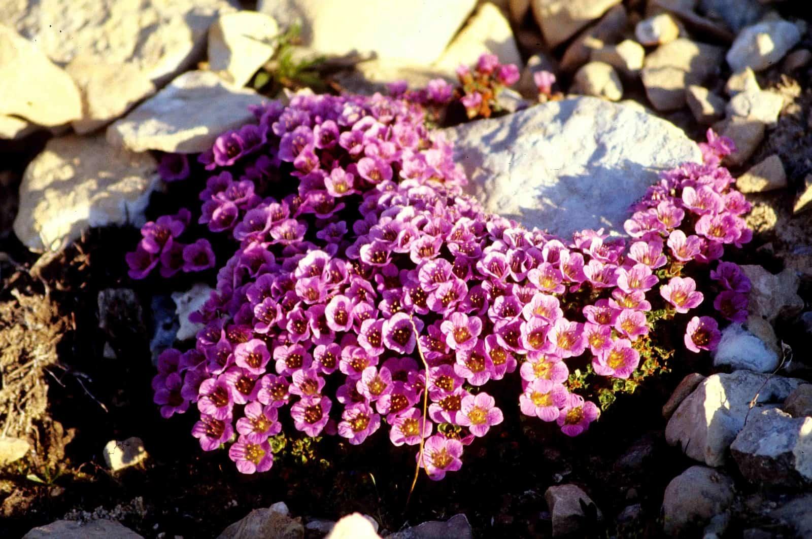 """Purpur- oder Gegenblättriger Steinbrech, """"Blume des Territoriums Nunavut"""". Foto Ansgar Walk/CC BY-SA 2.5"""