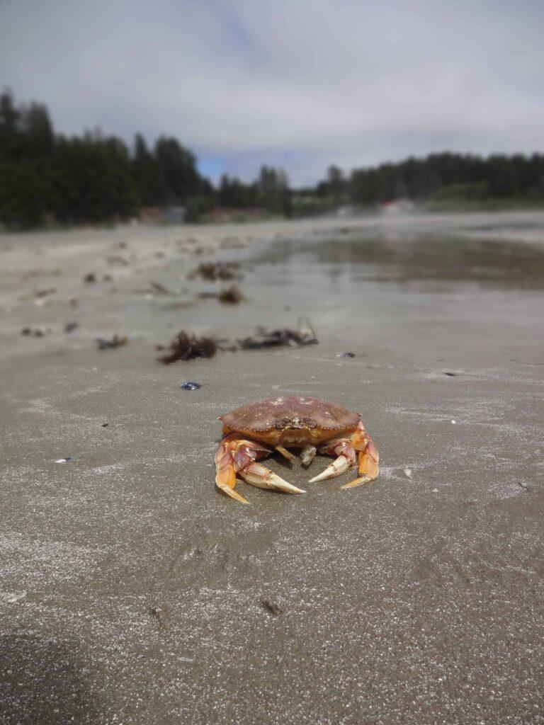 Begegnung mit einer Krabbe. Pacific Rim Nationalpark, BC.