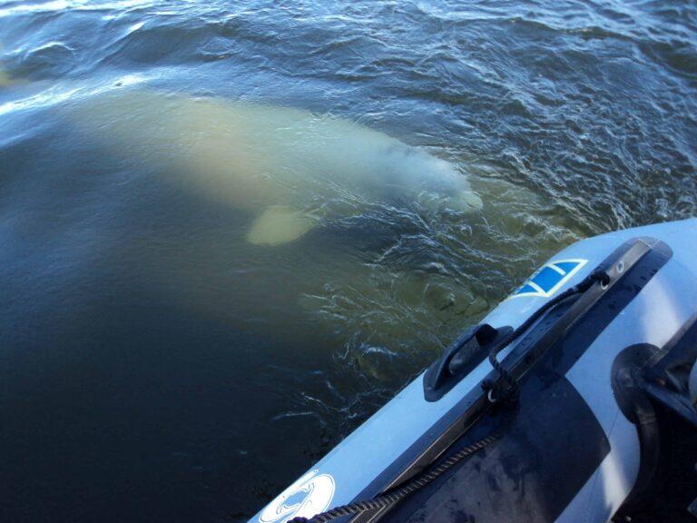 Bald werden sich tausende Belugas im Churchill River tummeln (Claudia Grill)