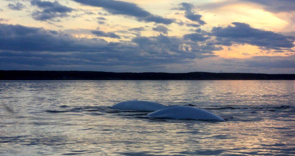Belugas ziehen in den Churchill River um dort im Sommer ihre Jungen zu gebären (Claudia Grill)