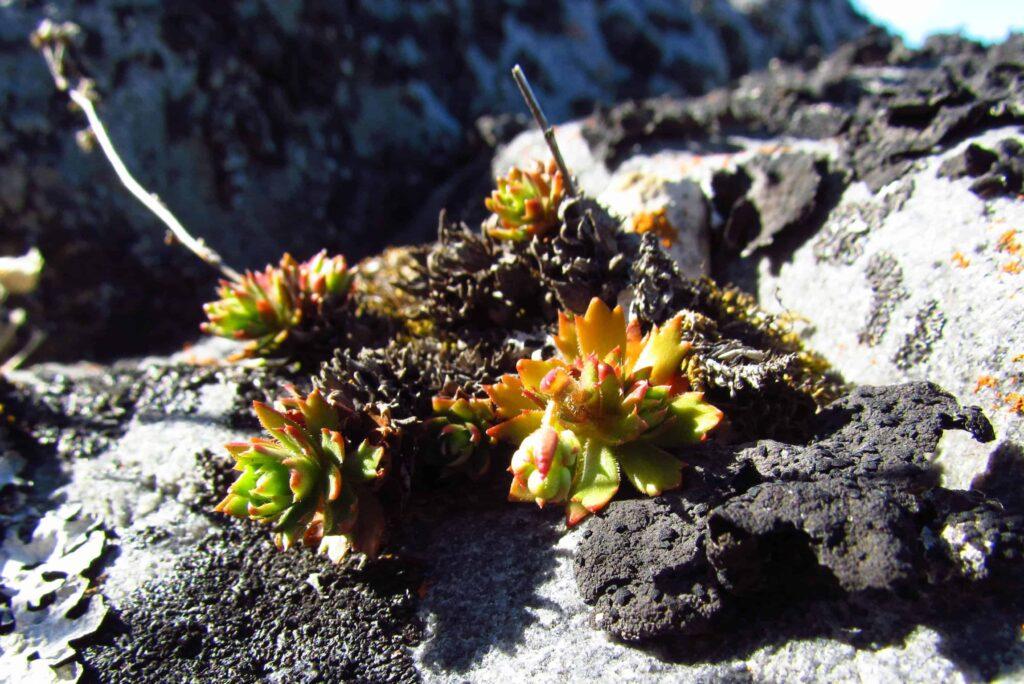 Die winzigen Tundrapflanzen haben nur wenig Zeit um Blüten und Früchte auszubilden (Claudia Grill)