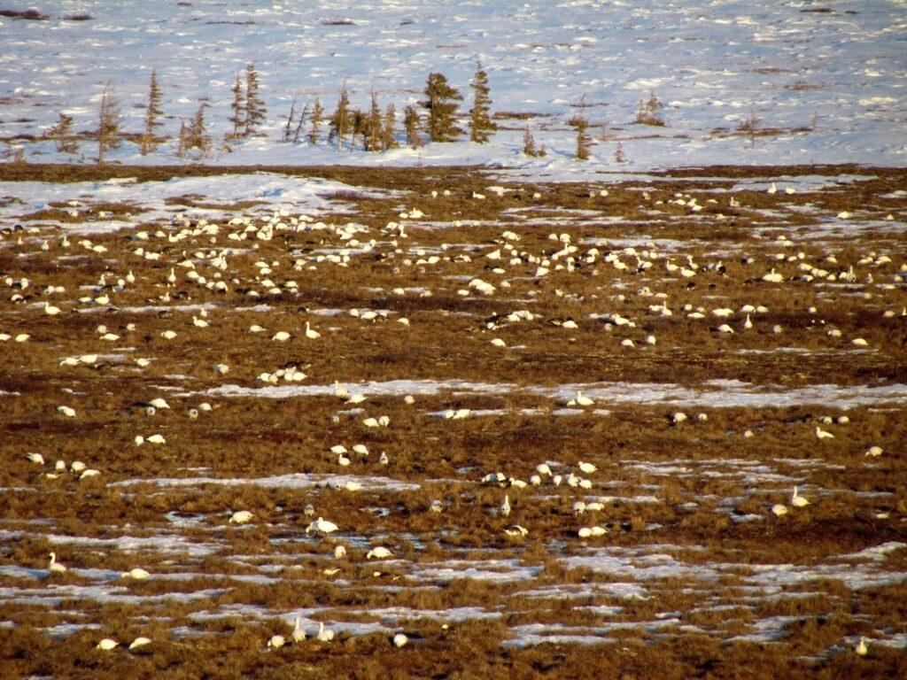 Millionen von Gänsen lassen sich im Frühling in der Tundra nieder (Claudia Grill)