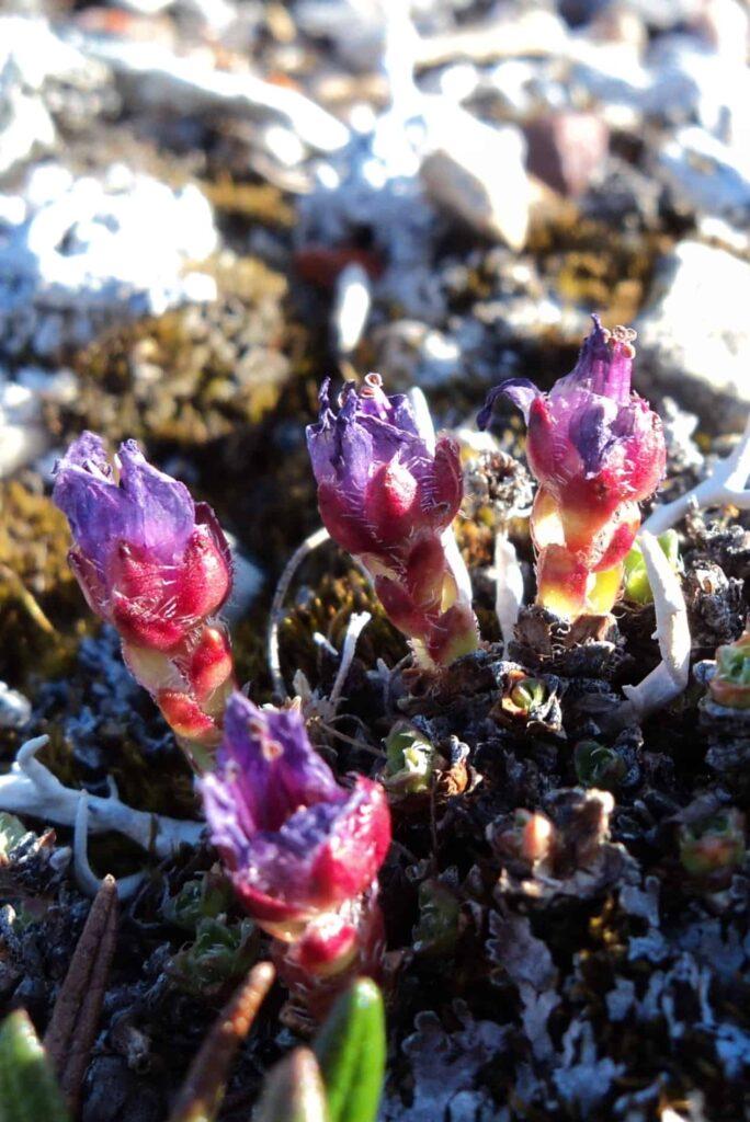 Purple Saxifrage - eine der ersten blühenden Pflanzen (Claudia Grill)