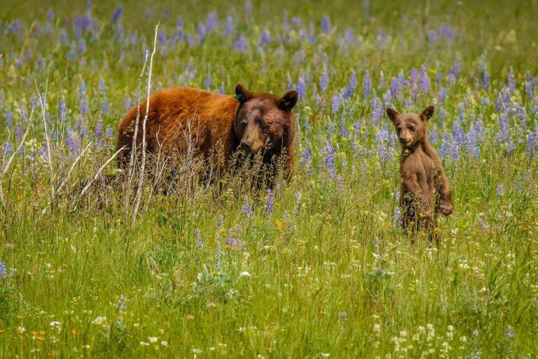 Bärige Freunde im Waterton Lakes National Park. Foto roussien/Deposit