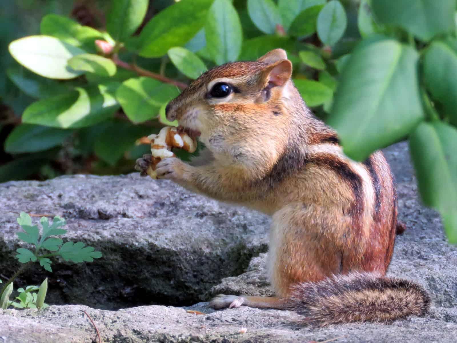Die quirlligen Chipmunks trifft man überall im High Park in Toronto an. Foto emkaplin