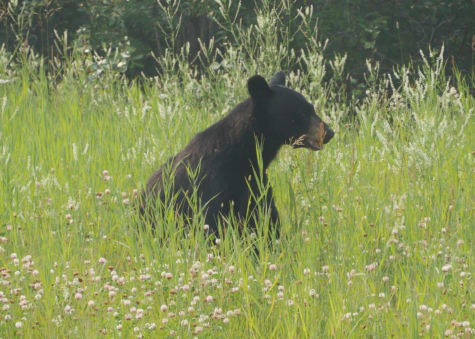 Schwarzbär in Kanada