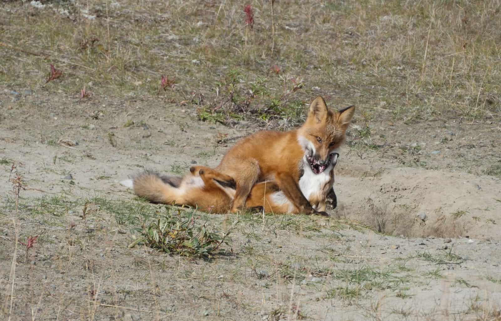 Spielende Füchse, wuselige Ground Squirrel und andere Tiere bevölkern den Straßenrand. Zeit zum Anhalten, die Tiere beobachten, lachen und fotografieren. Foto Faszination Kanada