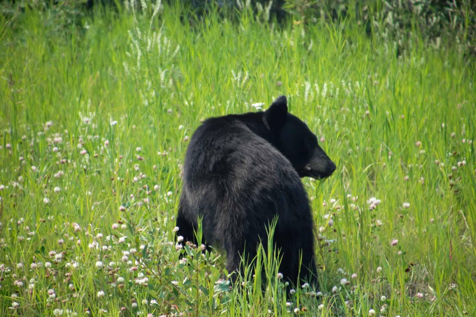 Die Flora und Fauna des Nordwesten Kanadas lässt einen tief beeindruckt staunen. Ein kleiner Schwarzbär frisst sich am Straßenrand seinen Winterspeck an. Foto Daniela Ganz