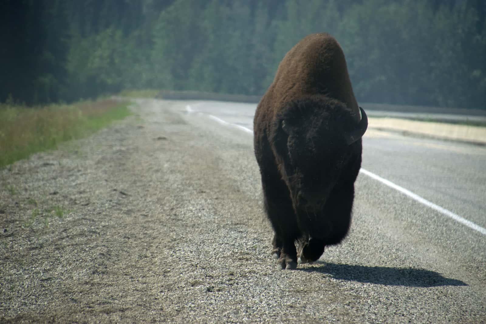 Unbeeindruckt vom Verkehr auf dem Alaska Highway marschiert dieser Bison zu seinem nächsten Nachtlager. Foto Daniela Ganz