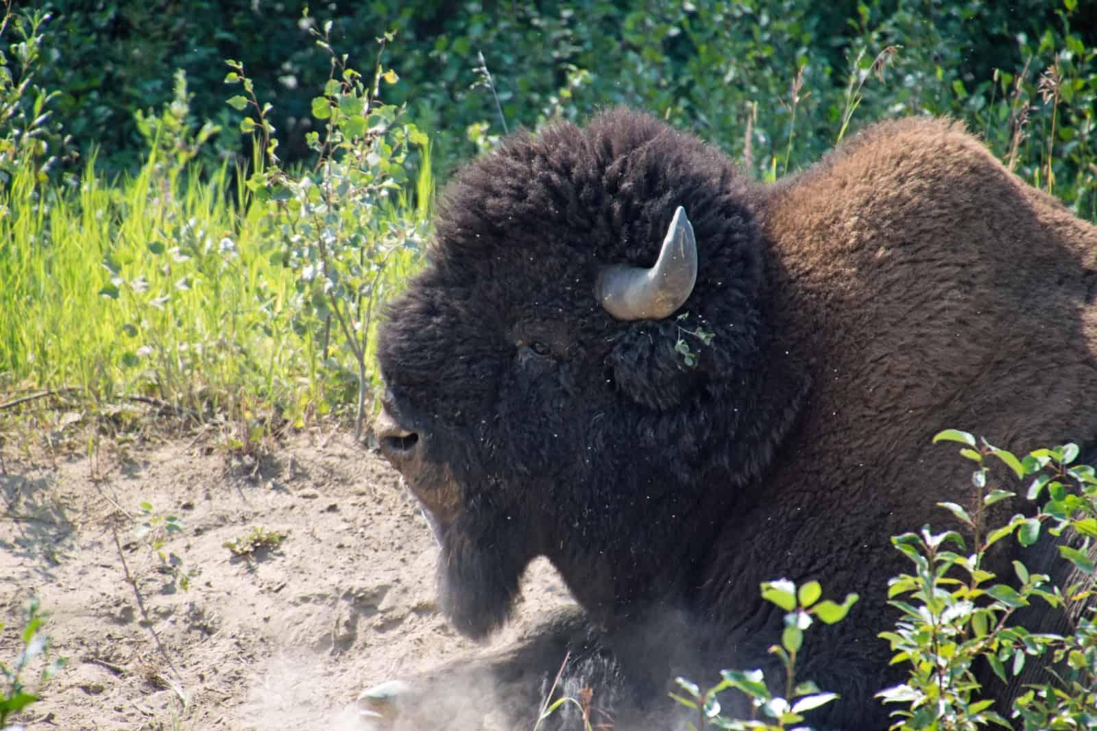 """Ein Bison am Sandplatz, hier """"baden"""" die Tiere um lästige Parasiten los zu werden. Foto Daniela Ganz"""
