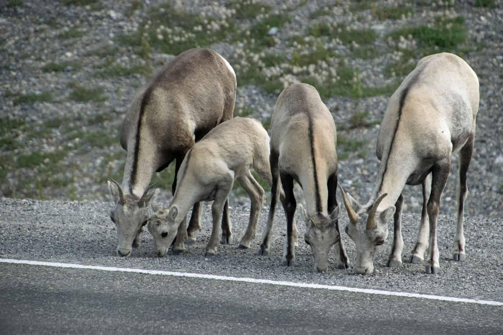 Auch am Alaska Highway findet diese Stone Sheep Gruppe Mineralien und nimmt sie fleissig auf. Foto Daniela Ganz