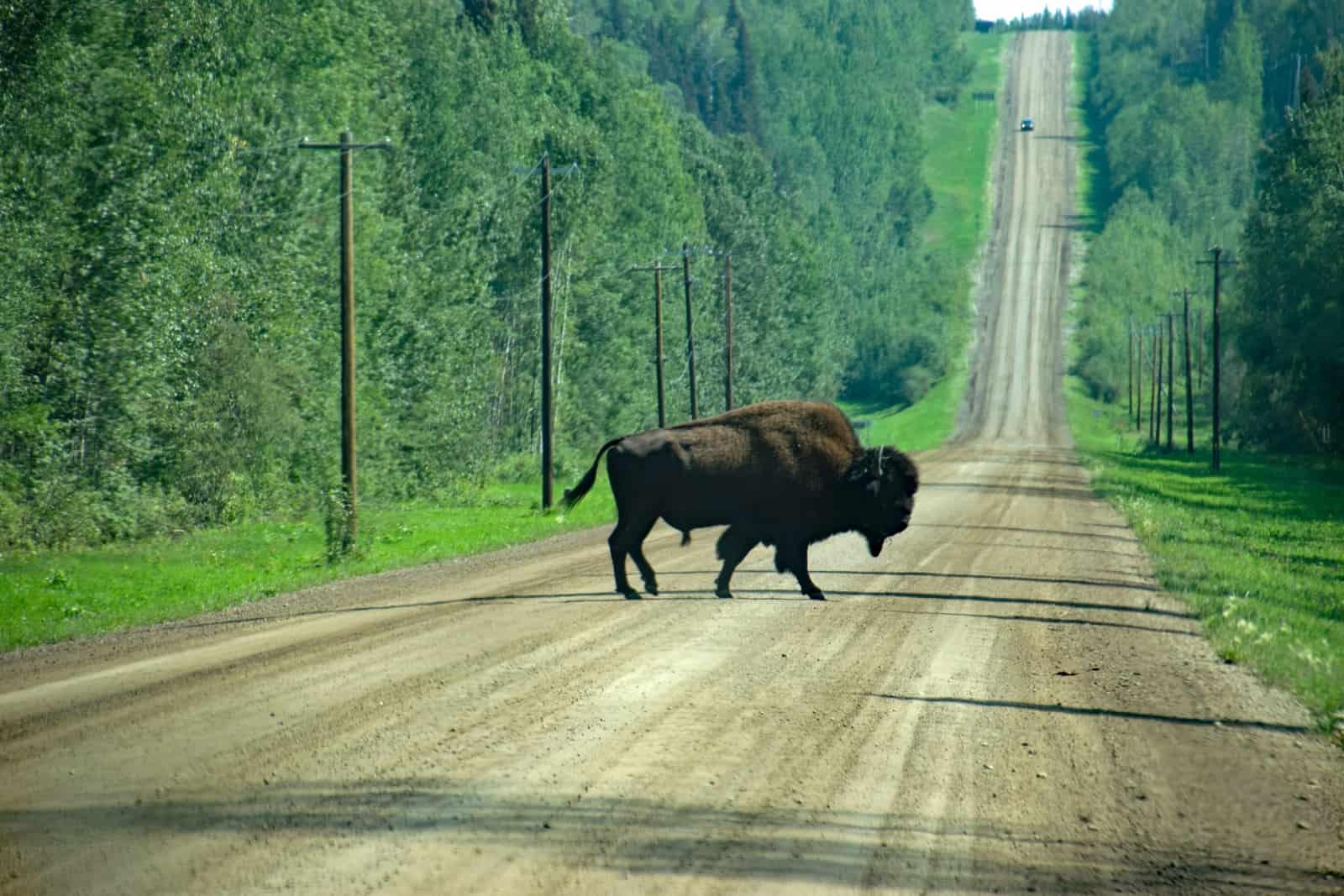 Wild und doch dem kleinen Ort Fort Liard ganz nah. Eine große Bisonherde weidet rund um die First Nation Siedlung. Foto Daniela Ganz