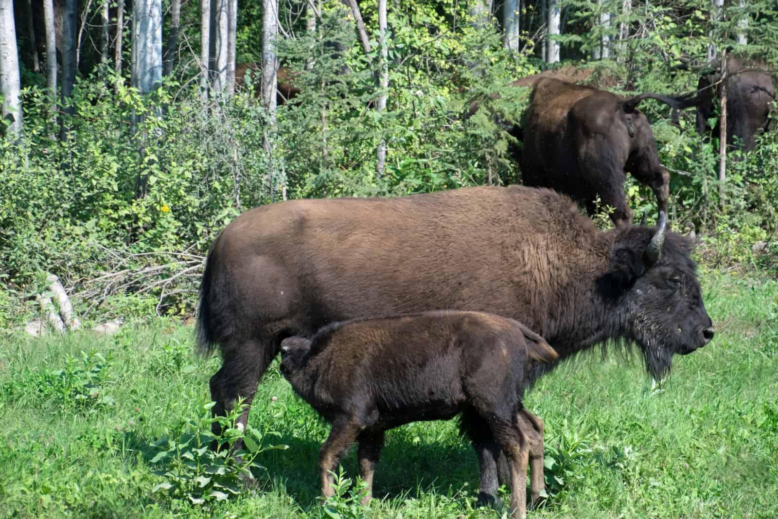 In der Bison-Herde von Ford Liard gibt es in diesem Jahr viel Nachwuchs. Foto Daniela Ganz