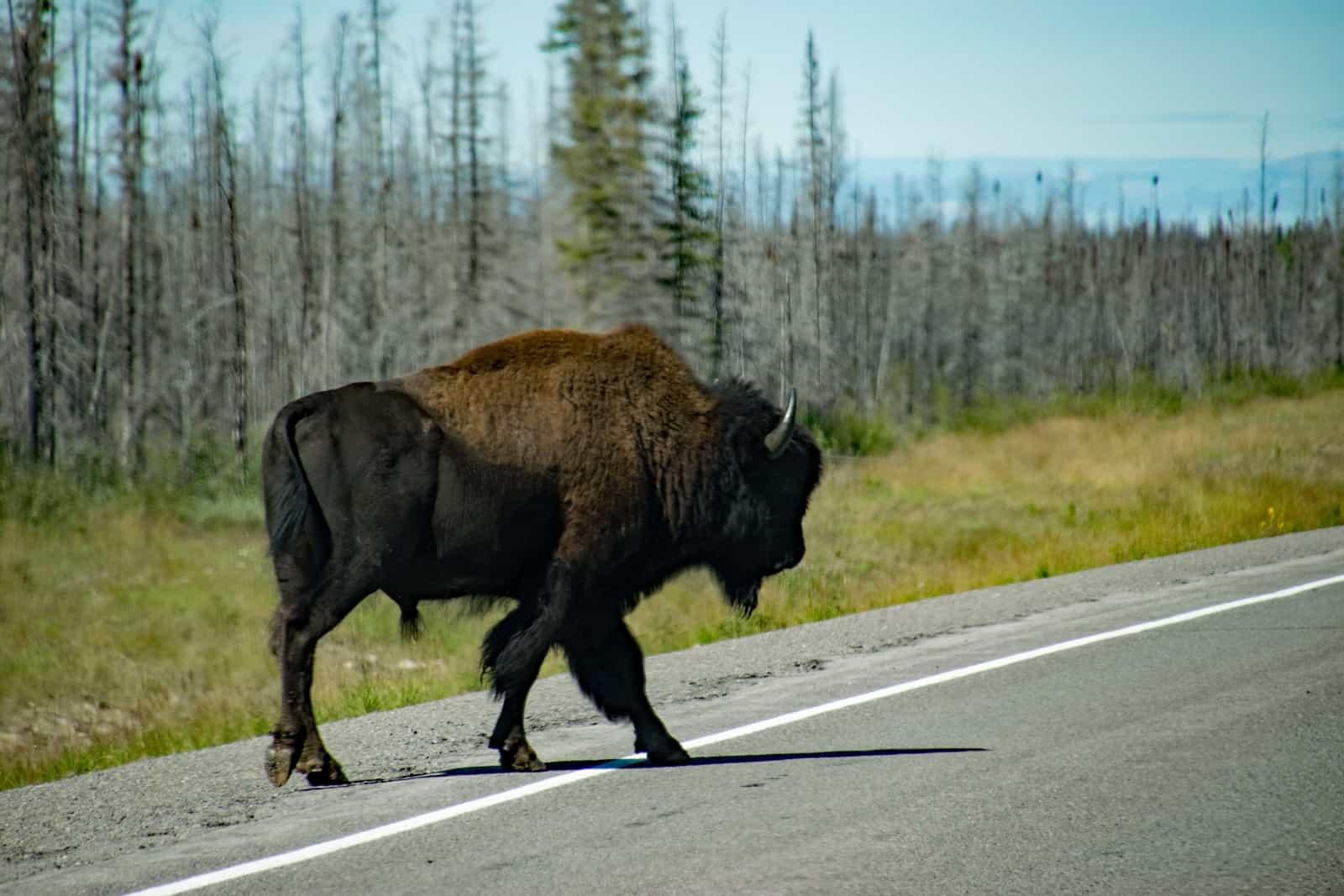 Alles hört in der großen Bison-Herde bei Fort Providence auf das Kommando dieses mächtigen Bullen. Foto Daniela Ganz