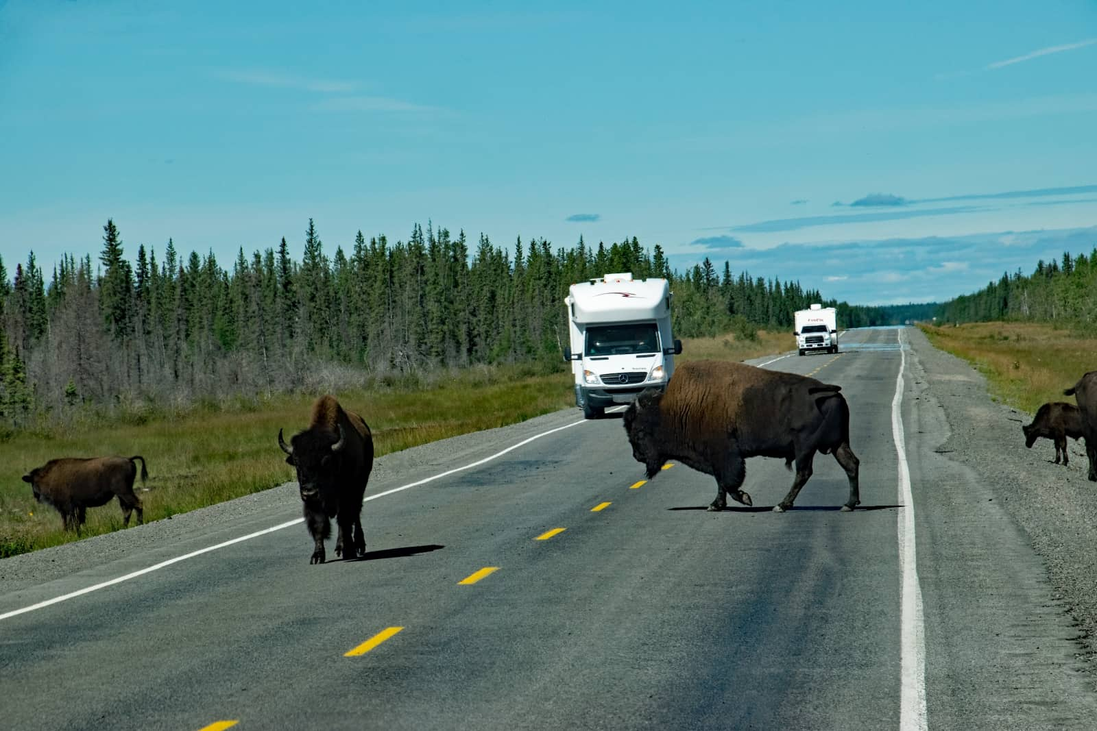 Wenn die Bisons sich auf dem Highway aufhalten, dann stoppt der ganze Straßenverkehr, der jedoch in dieser Gegend überschaubar ist. Foto Daniela Ganz