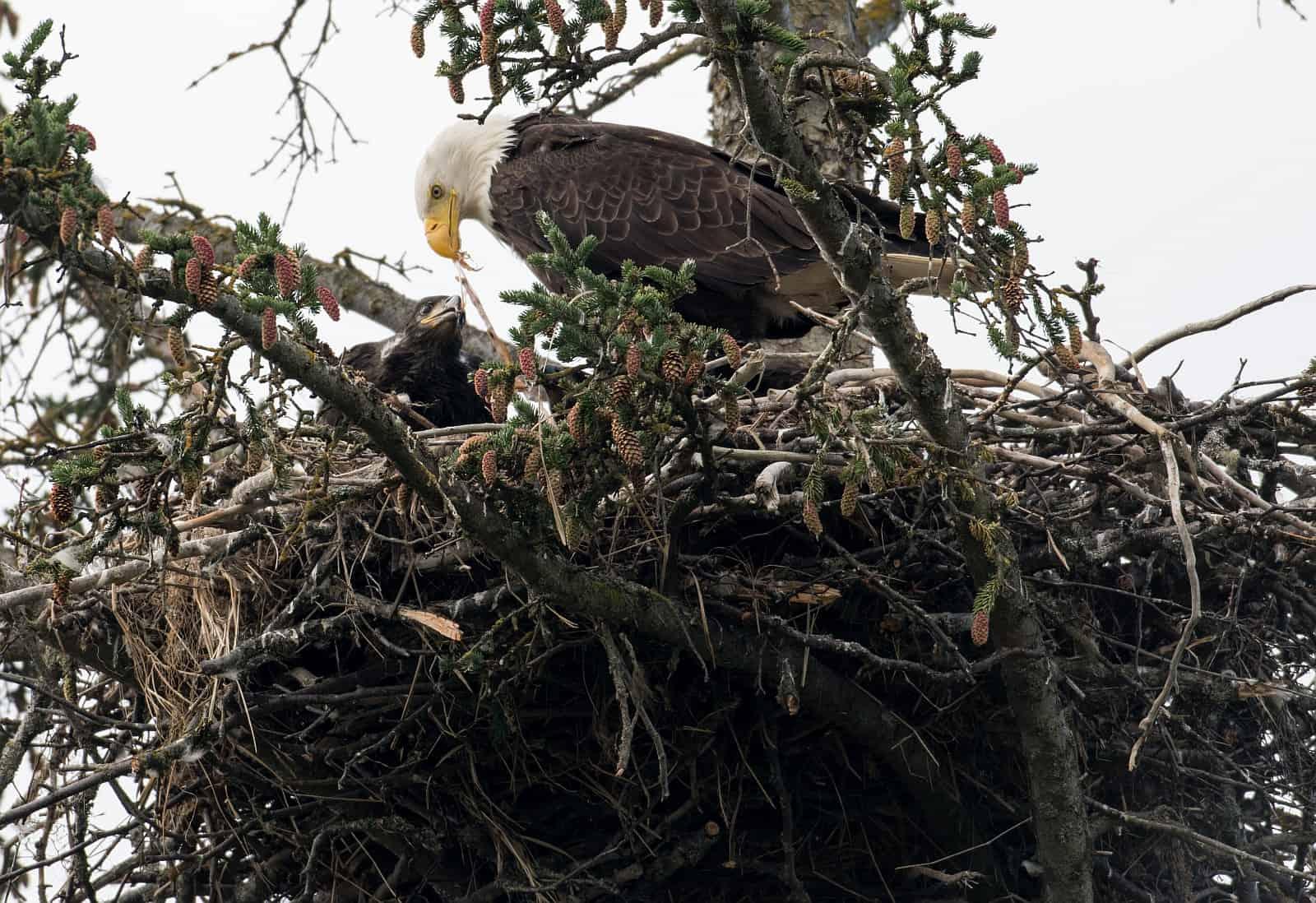 Ein Weißkopfseeadler in seinem riesigen Horst, einen Nestling fütternd.