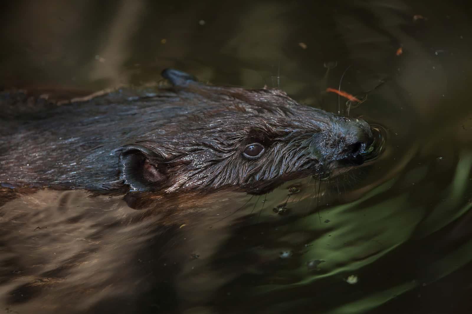 Die kleinen Augen weisen den Biber als überwiegend nachtaktives Tier aus. Foto wrangel/BigStock