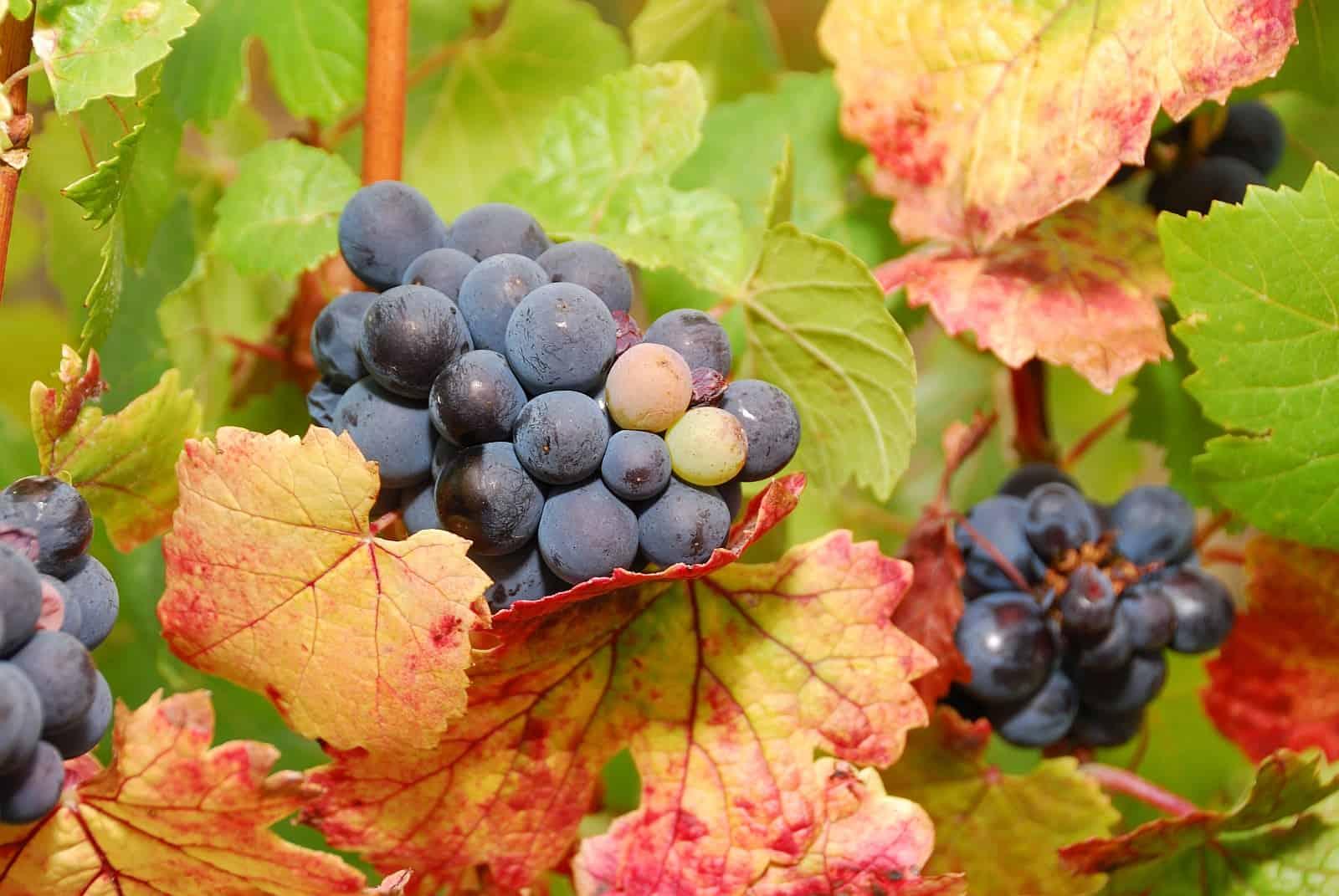 Hochwertige Rotweine bereichern die kanadische Gastronomieszene, angebaut im Okanagan oder der Niagara Region können sie sich mit edlen Tropfen aus aller Welt messen.