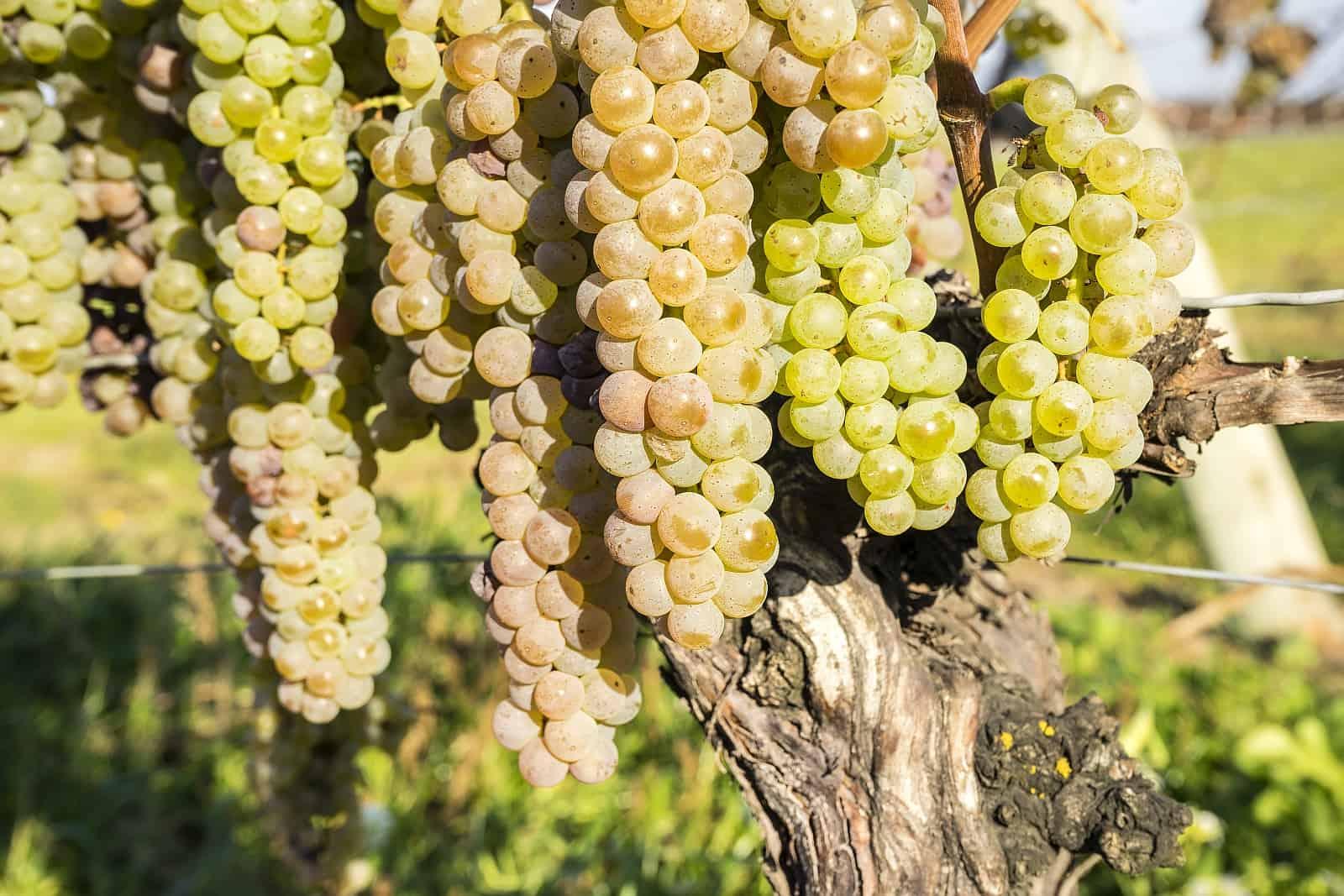 Gute Weißweine wie Chardonnay und Riesling sind Aushängeschilder kanadischer Weinbaukultur. Aus den weißen Trauben werden auch Eisweine ausgebaut, so von der Vidal Traube.