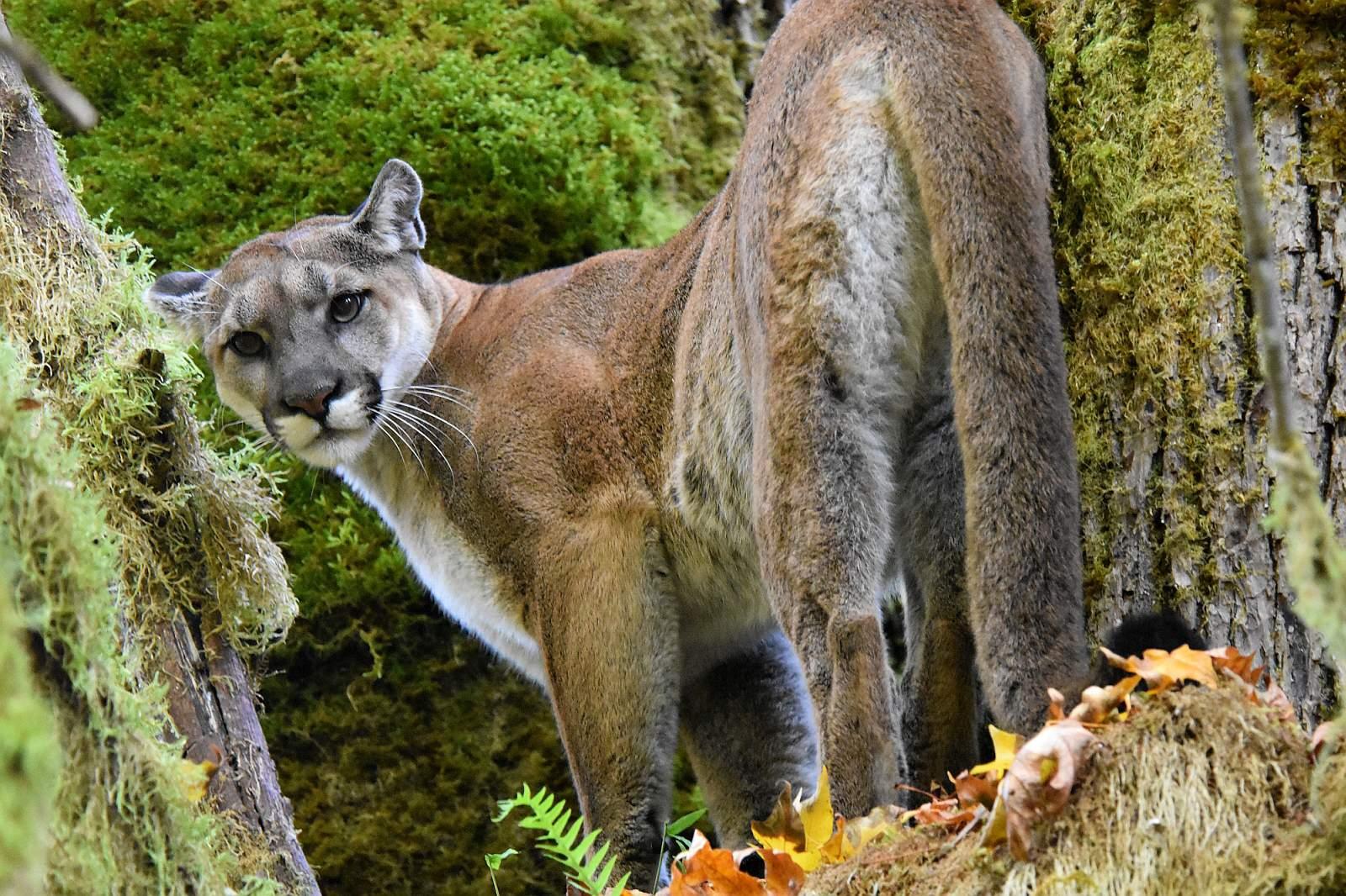 Der Puma, eine edle Kleinkatze, die ihren Lebensraum in Nord- und Südamerika behaupten konnte. Foto Panthera