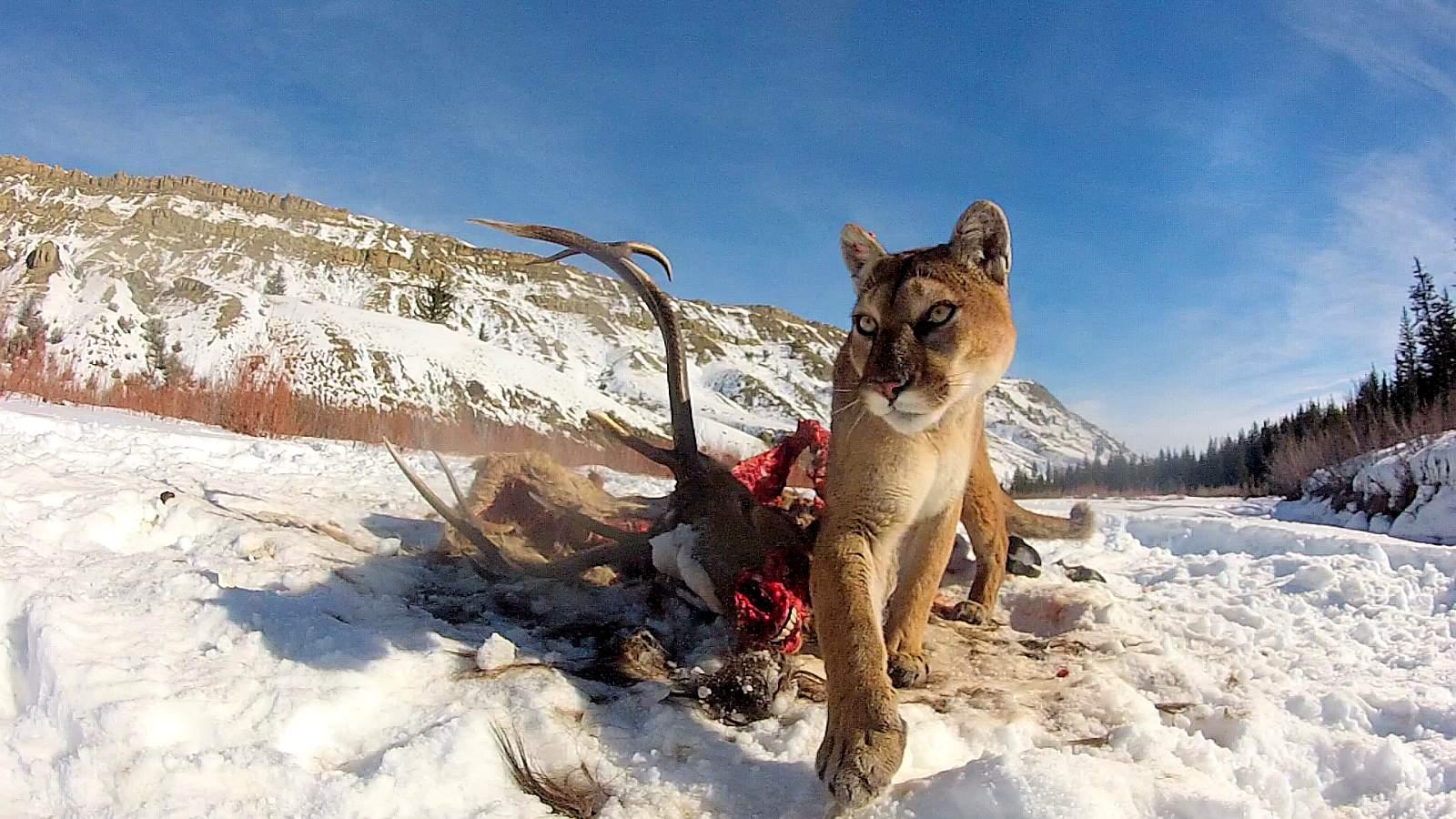 Ein weiblicher Puma am Fressplatz mit seiner Lieblingsbeute, einem Hirsch. Foto Mark Elbroch / Panthera