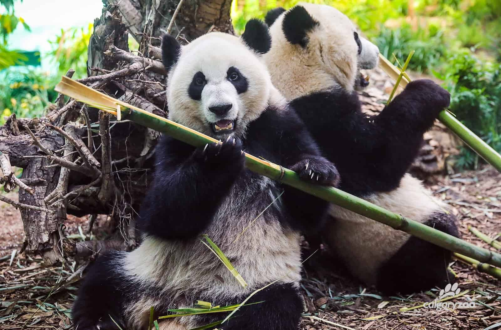 Publikumslieblinge mit viel Pflegebedarf, die Großen Pandas. Foto Calgary Zoo