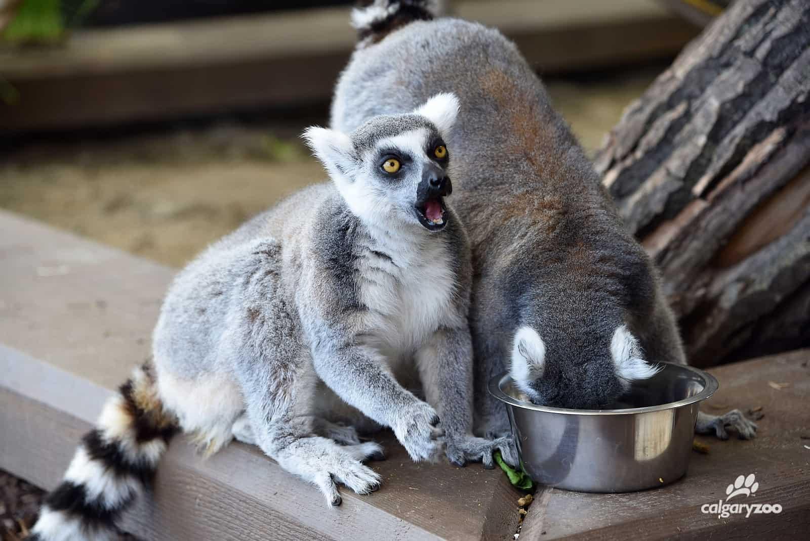 Die frechen und verspielten Lemuren sind die Stars im Calgary Zoo. Foto Calgary Zoo