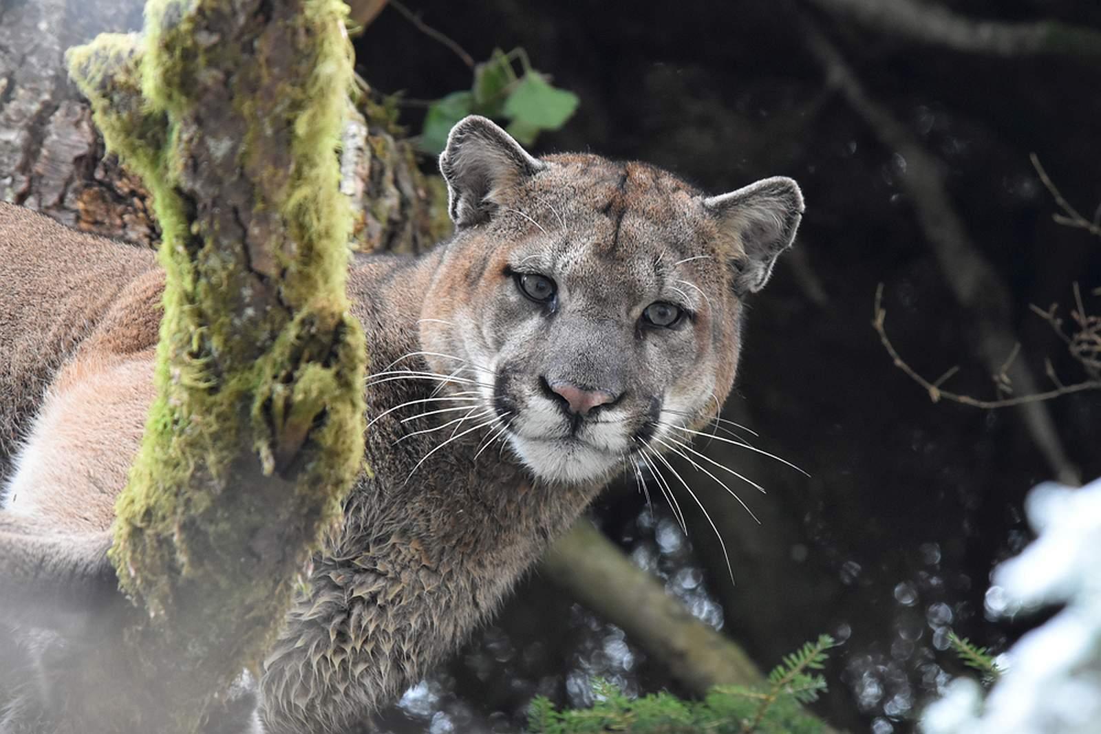 Wer kann sich der Schönheit und Eleganz des Pumas entziehen? Foto Mark Elbroch / Panthera