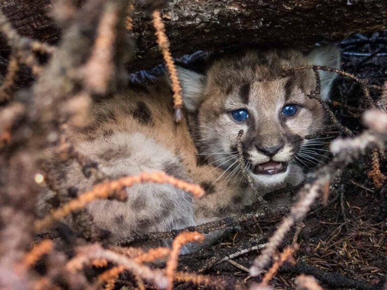 Ein junger Puma, gut vor Feinden versteckt. Foto Mark Elbroch / Panthera
