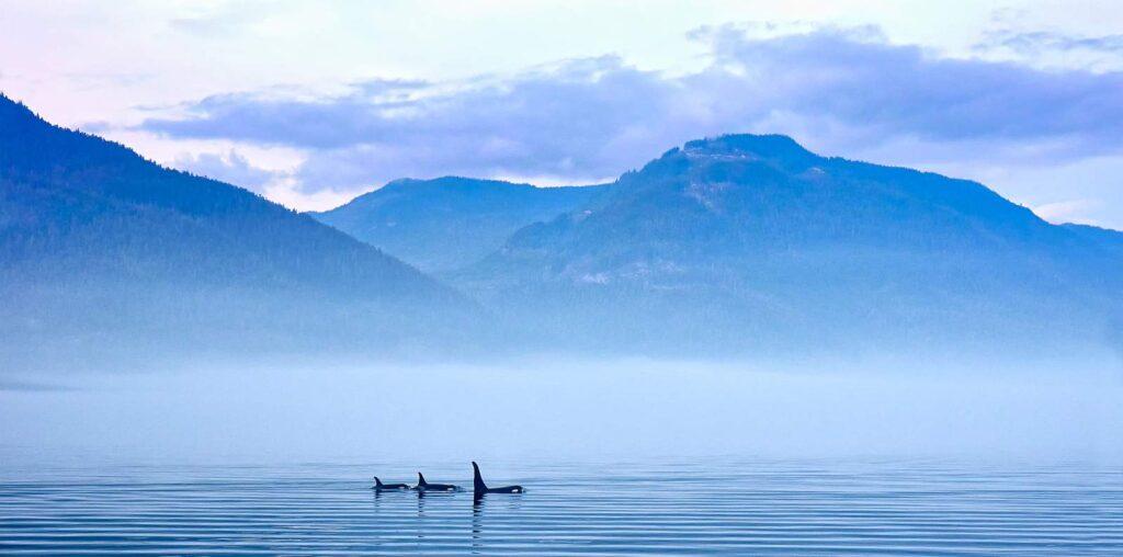 Orcas vor der malerischen Kulisse von Vancouver Island. Foto JuRitt/Stockfoto