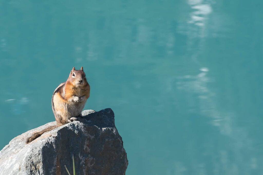 Neben Großtieren wie Bären zeigen sich im Banff Nationalpark auch die posierlichen Ground Squirrel von ihrer besten Seite. Foto kvddesign/Deposit