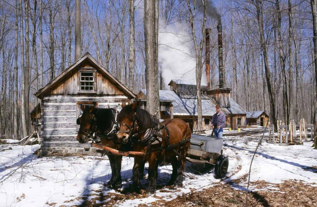 Ahornsafternte und Ahornsirup einkochen in den Wäldern Québecs. Foto DesignPicsInc/Deposit