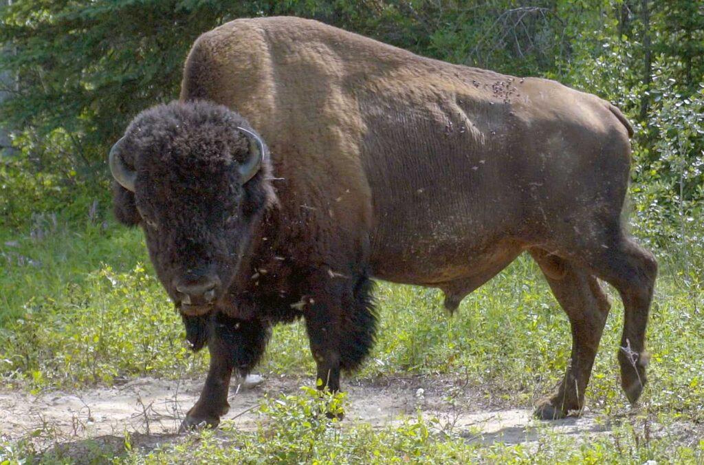 Die systematische Jagd auf Bisons führte beinahe zu deren vollständiger Ausrottung in Nordamerika. Heute ist ihre Erhaltung eine der wichtigsten Aufgaben der Landschaftsschutzbehörde Parks Canada. Es sind die letzten freilebenden Waldbisons der Erde. Foto Arte / © Florianfilm