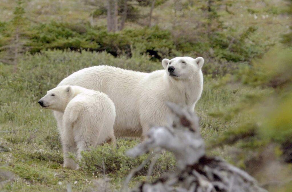 """In der Sprache der Cree bedeutet Wapusk """"weißer Bär"""". Der Wapusk National Park trägt seinen Namen, weil er eines der größten Eisbären-Geburtshöhlengebiete weltweit schützt. Foto Arte / © Florianfilm"""