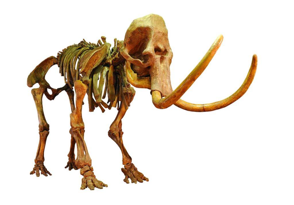 Auch heute noch werden im Permafrostboden Kanadas Mammutskelette oder auch im Ganzen erhaltene Mammute gefunden. Foto kyslynskyy/Deposit