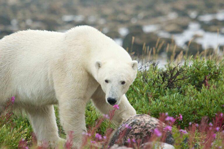 EEin Bewohner der im Sommer farbenfrohen arktischen Tundra, der Eisbär. Dieses wunderschöne Exemplar wurde nahe Churchill, Manitoba entdeckt. Foto chbaum / Deposit