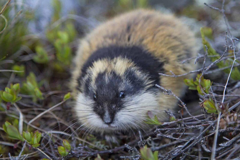 Ein kleiner, aber vielfach in Massen vorkommender kleiner Geselle der Tundra, der Lemming. Der Nager ist ein wichtiger Bestandteil der Nahrungskette. Foto Tinieder / Deposit