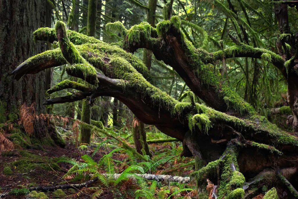Mystische Landschaften die Verzaubern. Gemäßigter Regenwald im Pacific Rim National Park. Foto MarinaPoushkina / Deposit