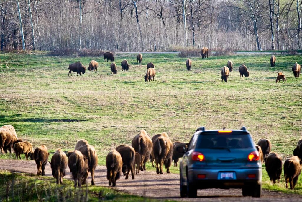 Eine der tierischen Sehenswürdigkeiten. Im Elk Island Nationalpark haben die Bisons eindeutig Vorfahrt. Foto Edmonton Tourism