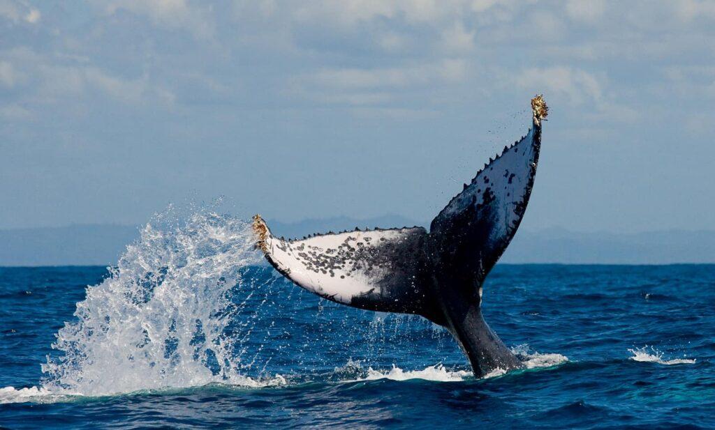 """Sieht man das Winken der imposanten Buckelwal Fluke, sagt man gerne """"Auf Wiedersehen"""". Foto GUDKOVANDREY / Deposit"""